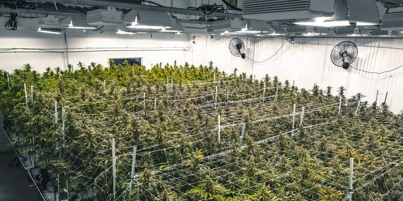 Cannabisherstellung in Deutschland