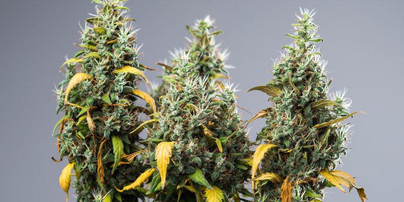 Verschiedene Cannabis Sorte